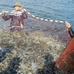 Nghệ An chưa có doanh nghiệp đủ mạnh để xuất khẩu tôm