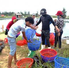 Quảng Nam: Thua lỗ vụ 1 nuôi tôm nước lợ