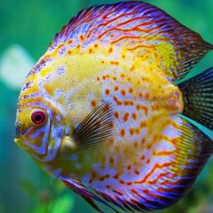 Thành phần thức ăn mới cho cá dĩa cảnh