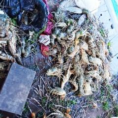 Gần 60.000 con tôm hùm chết chỉ trong 1 ngày ở đảo Bình Ba