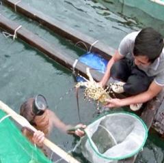 Tôm hùm chết ở đảo Bình Ba: Người nuôi không được hỗ trợ