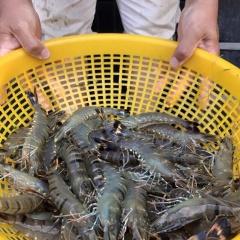 Doanh nghiệp thủy sản: Giá tôm sẽ được cải thiện trong vài tuần tới