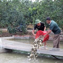 Hà Nội: Cấp cá giống cá chép cho mô hình sông trong ao