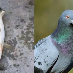Cá đầu chim gây sốt mạng xã hội ở Trung Quốc