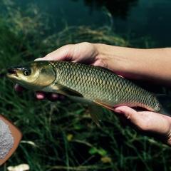 Vai trò của bổ sung các loại acid mật trên cá