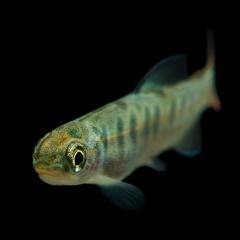 Tiềm năng của probiotics nội sinh trên cá