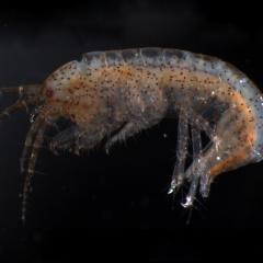 Loài luân trùng làm thức ăn giúp tôm chống stress khí độc