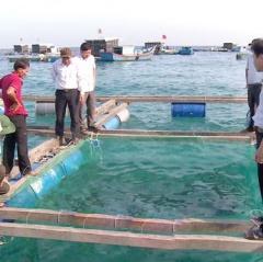 Quảng Ngãi: Chủ động được nguồn cá bớp giống