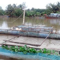 Phú Túc: Nông dân nuôi cá điêu hồng lồng bè đạt hiệu quả cao