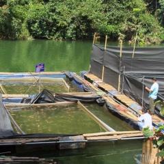 Bắc Kạn: Triển khai mô hình nuôi cá diêu hồng lồng bè