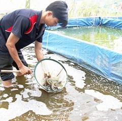 Làm giàu bằng nghề nuôi cá giống ở Hậu Giang