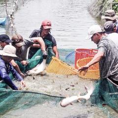 Giá cá tra giống giảm mạnh