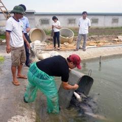 Ninh Bình: Hỗ trợ cá giống, cám thực hiện mô hình nuôi cá trắm đen