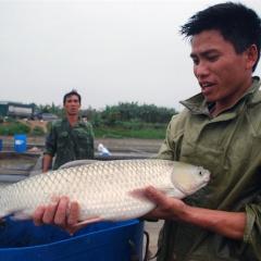 Câu chuyện chuỗi liên kết của con cá chép giòn