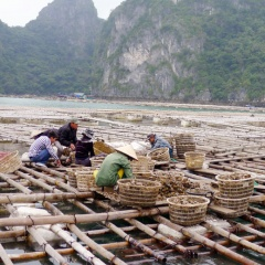 Bảo vệ môi trường vùng nuôi thủy sản ở Vân Đồn