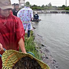 Giải pháp hạ giá thành nuôi tôm khi giá tôm ở mức thấp