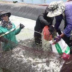 Nghi Xuân: Sản lượng nuôi tôm công nghệ cao ước đạt 260 tấn