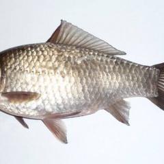 Cá diếc loài ăn cắp tinh trùng được tìm thấy ở Saskatchewan