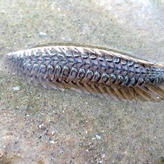 Cẩn thận với sinh vật lạ ở biển Vũng Tàu