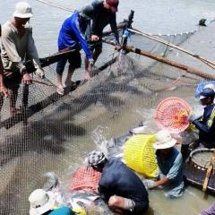 Người nuôi không có lãi vì giá cá tra giống giảm mạnh