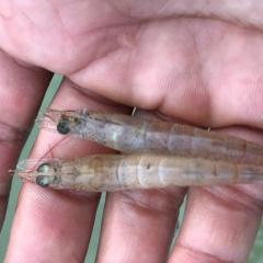 Ba Đồn: Chủ động phòng chống dịch bệnh đốm trắng trên tôm