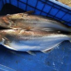 Trà Vinh: Hiệu quả mô hình nuôi cá bông lau