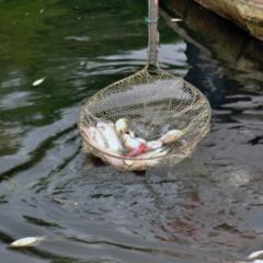 Xử lý triệt để nguyên nhân làm cá chết trên sông gành hào