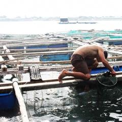 Nỗi lòng của người dân nuôi cá lồng bè Vĩnh Tân