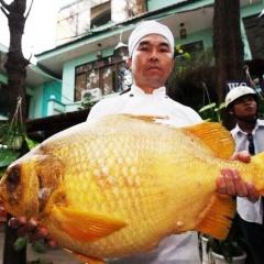 Sinh sản nhân tạo để bảo vệ đặc sản cá chìa vôi trên sông Nhà Bè