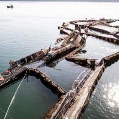 Chile thu hồi số cá vừa thoát khỏi trang trại có thể gây hại