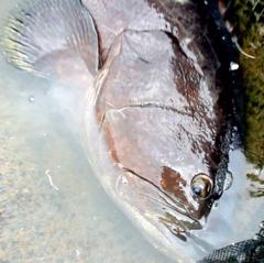 Người đàn ông nuôi cá mú nghệ 80 kg ở Vũng Tàu
