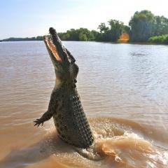 Yếu tố nào giúp cá sấu nước mặn Australia đạt kích thước khổng lồ?