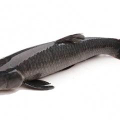 Lưu ý khi nuôi cá trắm đen bằng thức ăn công nghiệp