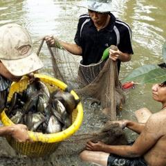 Giá cá bổi bấp bênh, người nuôi gặp khó