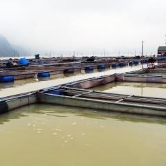 Một số kinh nghiệm nuôi cá lồng của Lào Cai