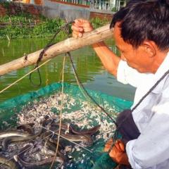 Nông dân làm giàu từ nuôi cá chình