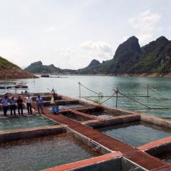 Nuôi cá sông Đà theo chuỗi giá trị