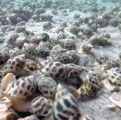 Nuôi hải sâm, ốc hương: Hướng đi mới của ngư dân Quảng Ngãi