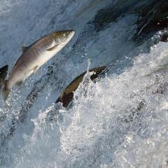 Phương thức mới làm tăng chất lượng cơ trong cá nuôi
