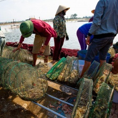 Giá tôm thẻ tăng trở lại, nông dân bắt đầu có lãi