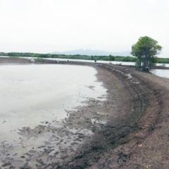 Vũng Tàu: Người nuôi tôm bị thiệt hại nặng do bệnh đốm trắng