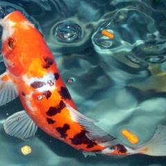 Kích thích vị giác của cá chép vàng bằng tảo Chollera