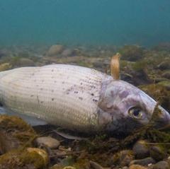 Sóng nhiệt khiến cá chết hàng loạt ở Thụy Sĩ