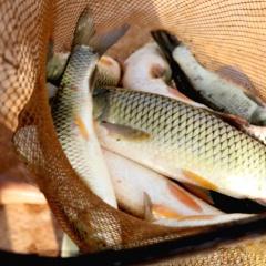 Thu nhập cao nhờ nuôi cá trắm nói không với cám công nghiệp