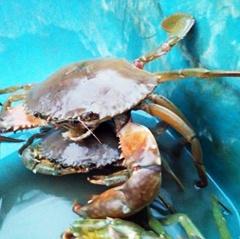 Giá cua biển ở Trà Vinh giảm mạnh