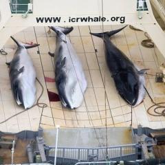 Australia phản đối đề xuất dỡ bỏ lệnh cấm đánh bắt cá voi của Nhật Bản
