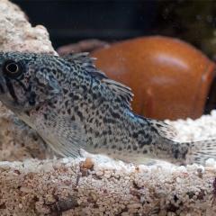 Sự kết hợp mới tăng cường sức đề kháng của cá