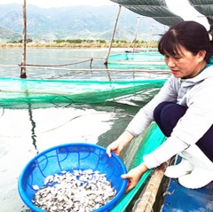 Hiệu quả từ nuôi cá bè trắng