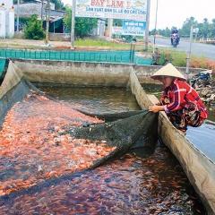 Sôi động thị trường cá giống: Giá một số loại cá giống tăng nhẹ