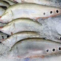 Củ Chi: Triển khai mô hình nuôi cá thát lát cườm